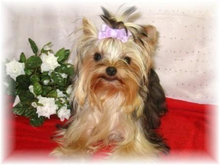 2 Akc Reg Teacup Yorkies 3lb And 3 4 Lb 11 Months Old For Sale In Chillicothe Ohio Classified
