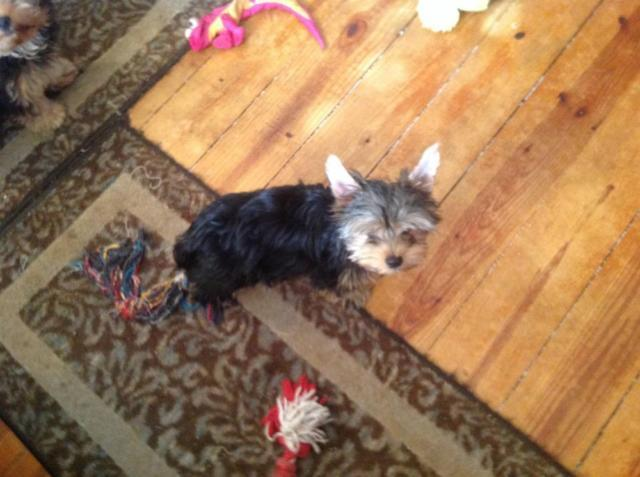 2 AKC REG Yorkshire Terrier Male Pups 17 weeks old