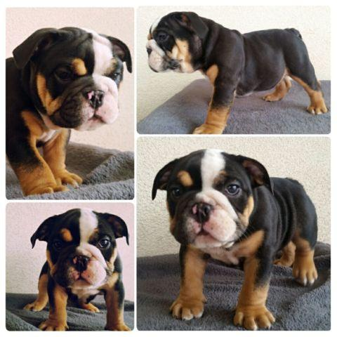 2 Akc Registered English Bulldog Puppy For Sale In Ontario