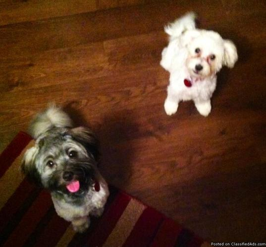 2 AKC registered Havanese Dogs  1 year old Male and Female