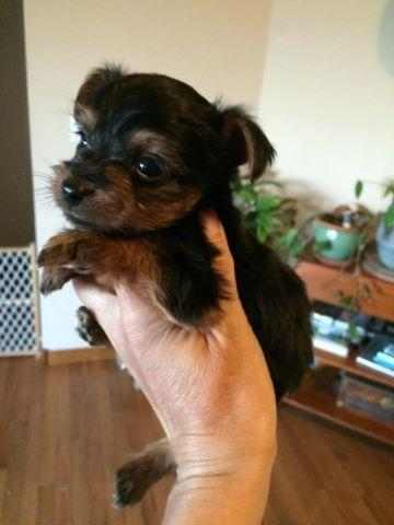 2 AKC yorkie boys 8 weeks old. Chocolate carriers