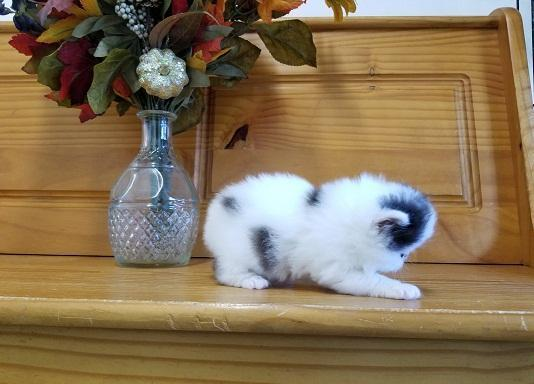 2 amazing persian kittens for sale