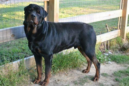 Rottweiler Puppies For Sale In Tennessee Classifieds Buy And Sell