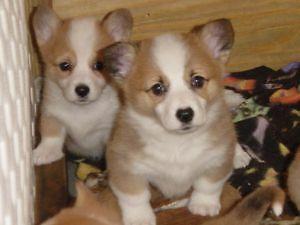 2 Beautiful Females 2 Males Pembroke Welsh Corgi Puppies For Sale In Colorado Springs Colorado Classified Americanlisted Com