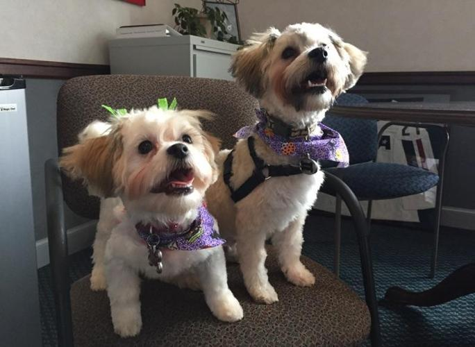 2 Beautiful Shih Tzu Dogs Brother Sister For Sale In Rochester