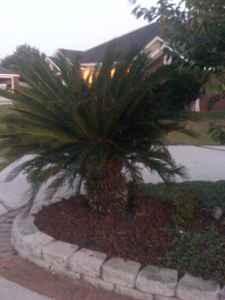 2 big 5 foot tall sago palms for sale mobile al for sale in mobile alabama classified. Black Bedroom Furniture Sets. Home Design Ideas