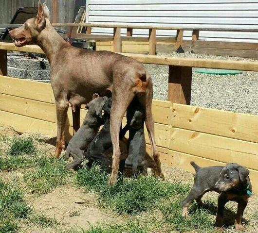 European Doberman Pets And Animals For Sale In Camano Island