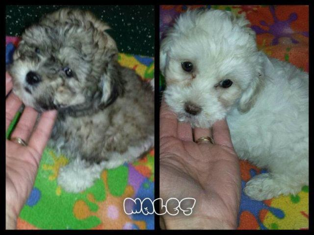 2 Cute little teddybears for sale both males.