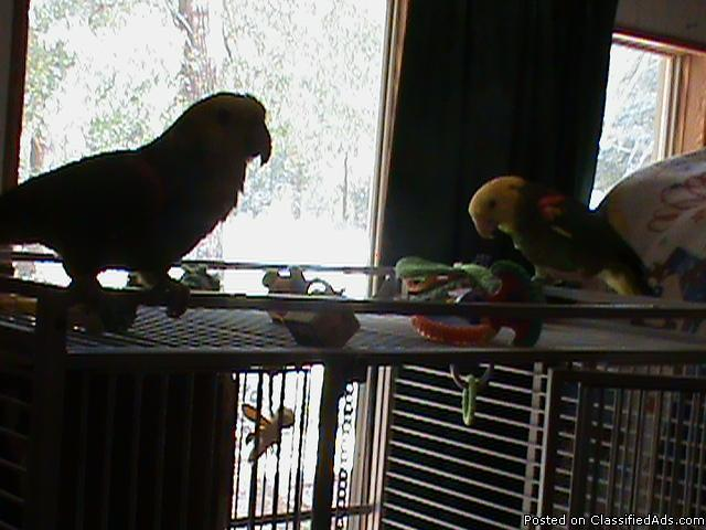 2 Double Yellow Headed Amazon Parrots