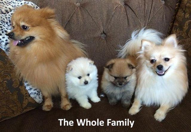 2 Female Akc Miniature Pomeranian Puppies Champion Bred Parents