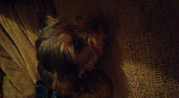 2 Female Puppy Yorkies for Sale