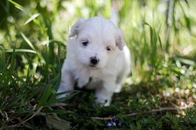 2 Female Purebred Maltese Puppies