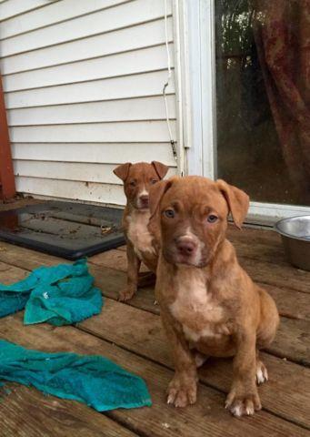 2 female red nose Pitbull puppies for sale !!