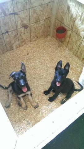 2 german shepherd puppies