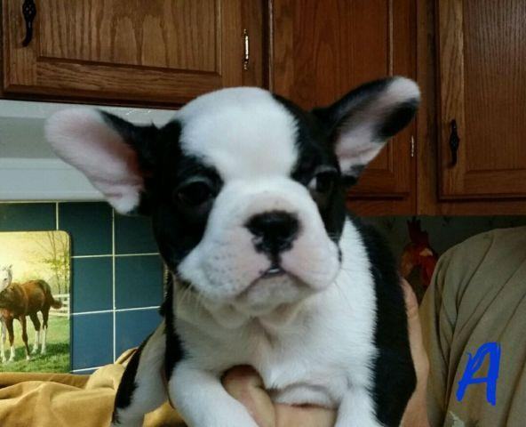 frenchton single girls Litter of 3 french bulldog puppies for sale in oak grove, mo spunky frenchton girl puppies 10 weeks old ask to meet the dogs parents.