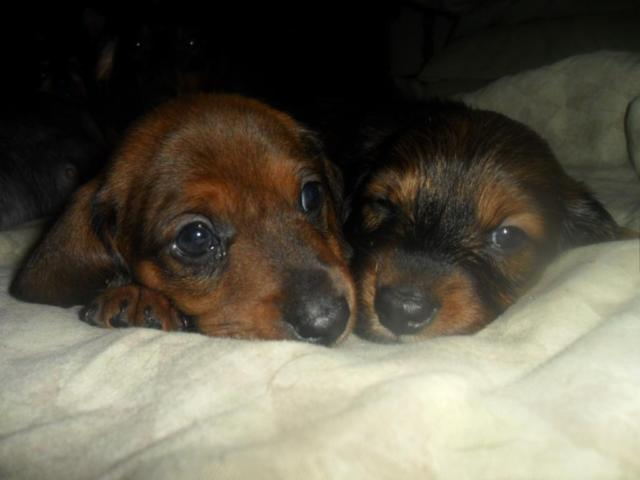 2 left FULL BRED C.K.C. REGISTERABLE Mini. Dach. Pups