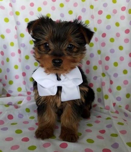 2 Left Teacup Yorkshire Terrier Puppies For Sale In East Meadow