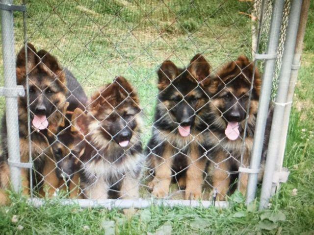 2 Litters Akc German Shepherd Puppies Long Hair Coat Red Black For
