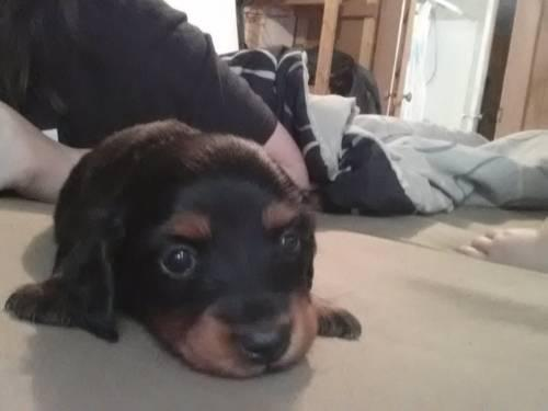 2 long hair blk tan f dachshunds ckc reg.