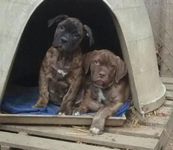Pets And Animals For Sale In Wading River New York Puppy And
