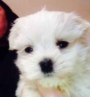 2 Male Maltese Terrier Puppies For Sale