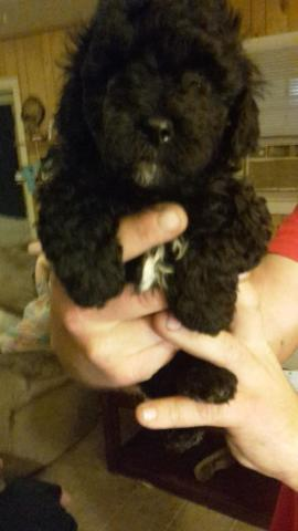 2 male toy poodle puppies ready to go