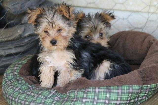 2 Male Yorkie Puppies Ready For Their Forever Homes 12 Weeks Old For