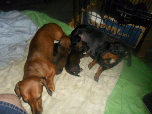 Alfa img - showing tiny mini dachshund puppies