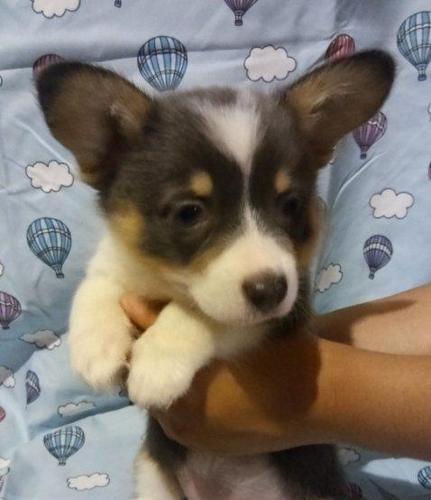 2 Months Old Amazing Corgi Pups For Sale In Toledo Ohio Classified Americanlisted Com