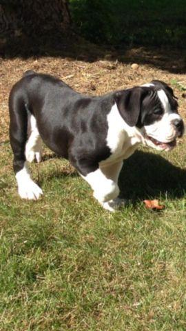 2 Olde English Bulldog Puppies For Sale Black And White For Sale