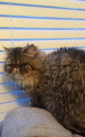 2 Persian cats for adoption (willing to separate)