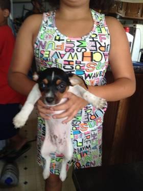 2 pom/chi puppies