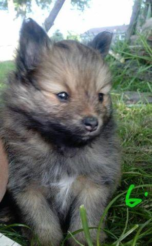 pomeranian breeders michigan 2 pomeranian puppies for sale for sale in lexington 4453