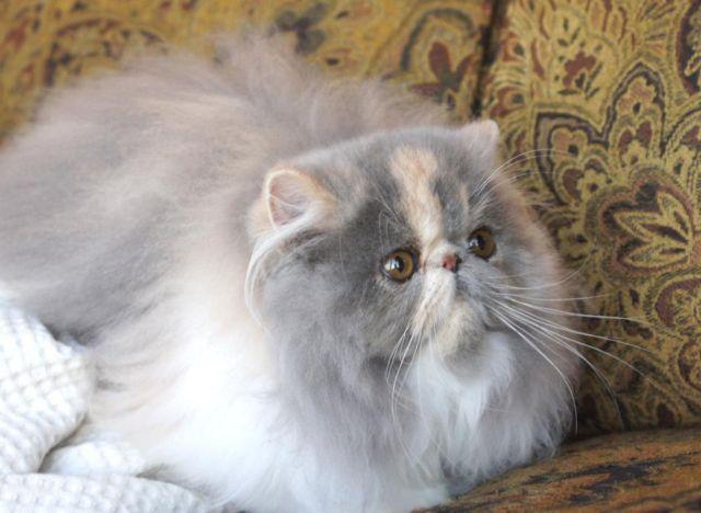 2 Retired Adults Persian And Exotic Shorthair Dilute Calico Females For Sale In Bradenton