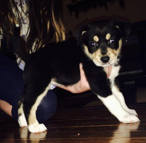 Image Result For Siberian Husky Puppies For Sale In Indiana
