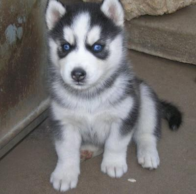 Image Result For Siberian Husky Puppies For Sale In Texas