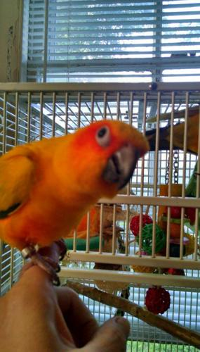 2 sun conures with cage