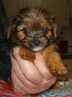 2 Tiny Morkie Female Pups(yorkie/maltese)