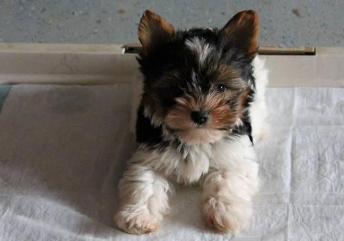 Pets And Animals For Sale In Brighton Illinois Puppy And Kitten