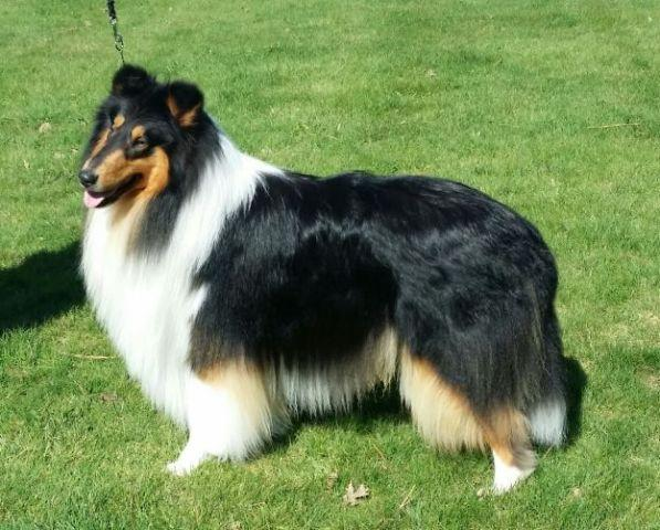 2 year old AKC Rough Collie male