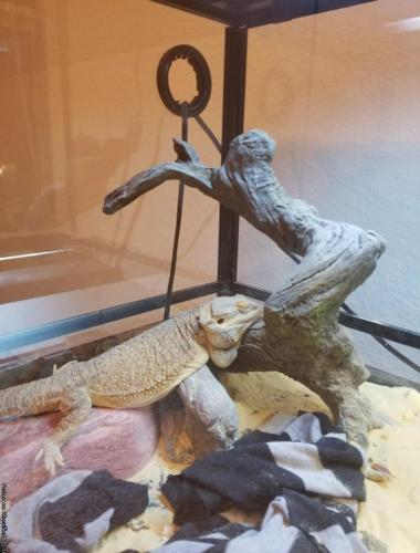 2 Year Old Fancy Bearded Dragon