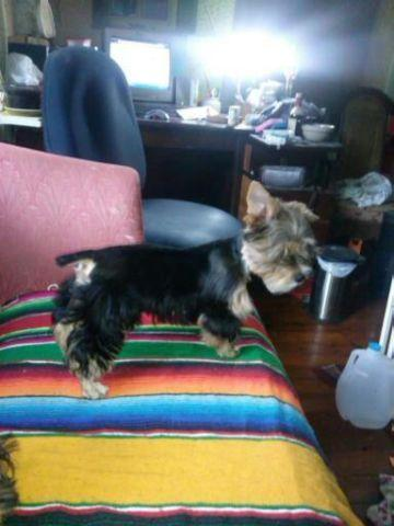 2 Yorkies female 3 months old,
