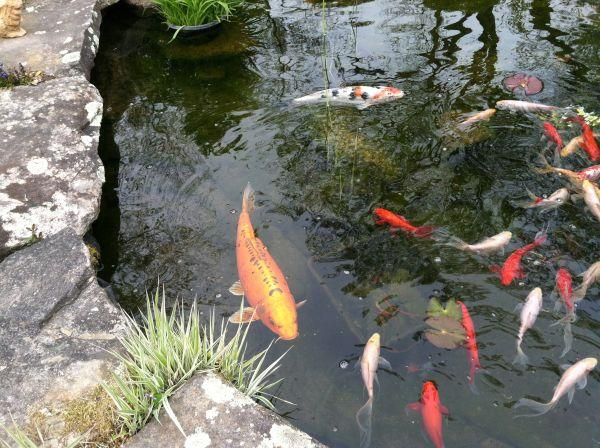20 multicolor 22 orange koi west boylston ma for for Local koi fish for sale
