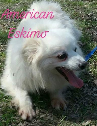2018-95 Snowflake American Eskimo Dog Adult - Adoption