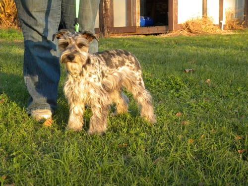 22 Month Old Merle Schnauzer For Sale In Brenham Texas