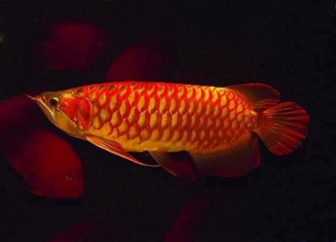 Golden Arowana Fish   24k Golden Golden Arowana Fish For Sale In Denham Springs