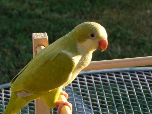 250 00 Blue Amp Pallid Green Quaker Parrots Dna