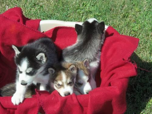 Cheap Jordan Sneakers – Easiest Husky Puppies For Sale In Ny