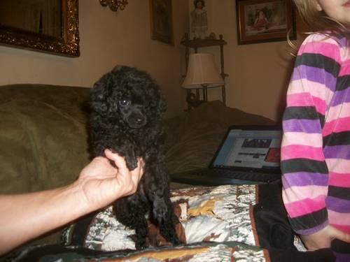 Gorgeous Teacup Poodles male Black for Sale in Nashville, Tennessee