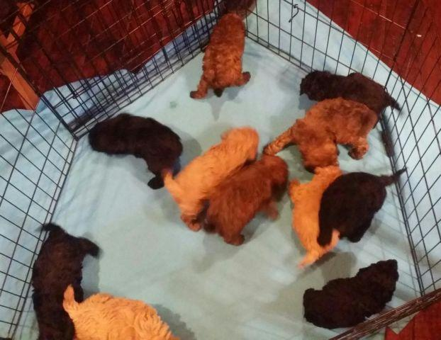 2nd Generation Cockapoo Puppies born February 6 & 9,